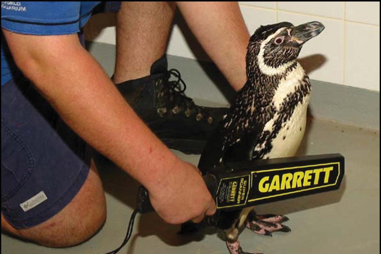 Досмотр пингвина ручным металлодетектором